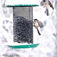 300-square-chickadee-titmouse-flying-october-snow-bids_103020_045