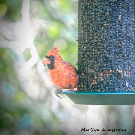 300-square-dad-or-mom-orange-cardinal_100420_012
