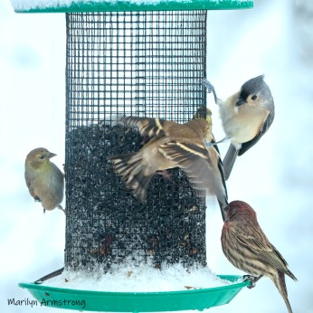 300-square-finches-titmouse-october-snow-bids_103020_0009