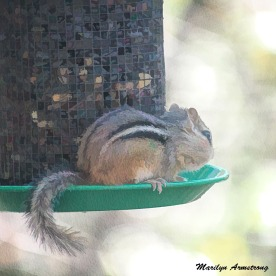 300-square-least-chipmunk_101720_016