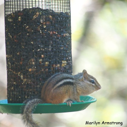 300-square-least-chipmunk_101720_020