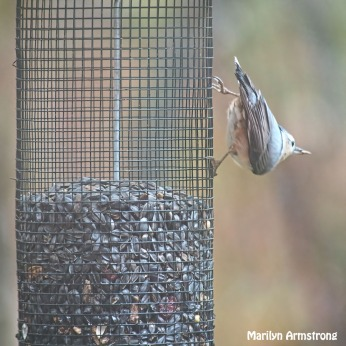 300-square-more-tufted-titmouse_102820_141