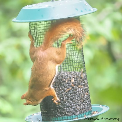 300-square-red-squirrel_091020_206