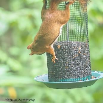 300-square-red-squirrel_091020_207