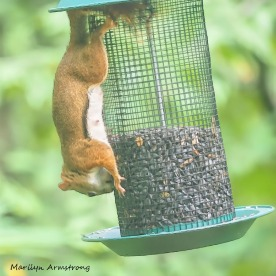 300-square-red-squirrel_091020_213b