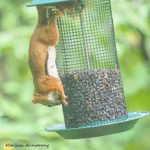 300-square-red-squirrel_091020_213b