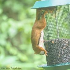 300-square-red-squirrel_091020_216