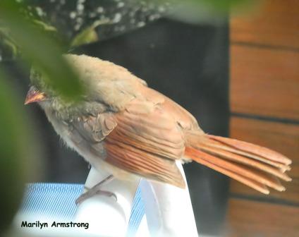 180-Orange-Cardinal-Deck-Birds_092220_0062