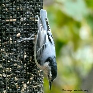 180-Square-Nuthatch_092220_039