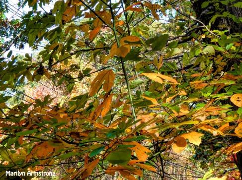 180B-Sassafras-Golden-October-Foliage_101920_122