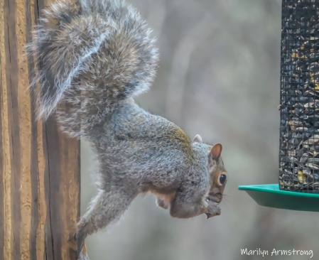 300-acrobat-red-squirrel_112220_0032