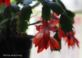 300-cactus-blooming-11202020_-0007