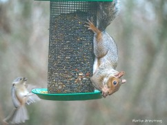 300-chickadee-just-hanging-and-red-squirrel_112220_0135