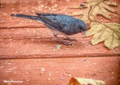 300-dark-eyed-junco-november-birds_111520_0044