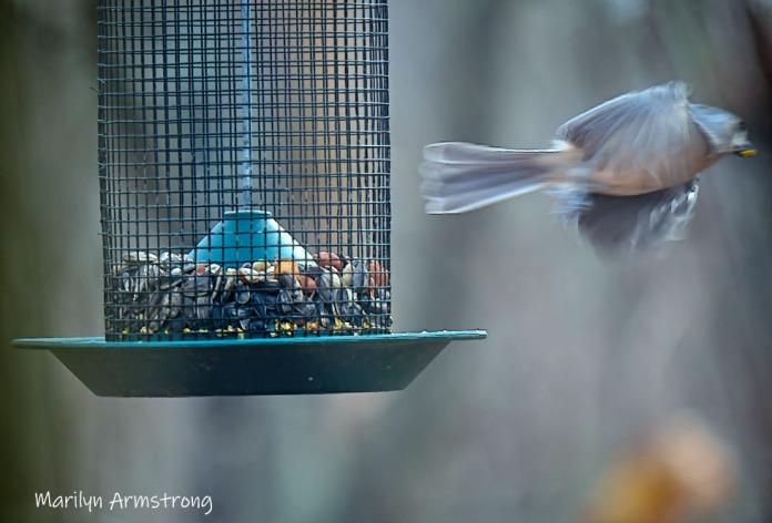 300-flying-titmouse-birds_om1-long-lens_112120_0035