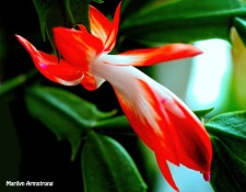 300-full-bloom-red-white-christmas-cactus-day-4_111520_0054