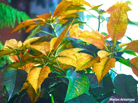 300-golden-poinsettia_111520_0073