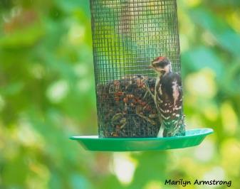 300-hairy-woodpecker-082720_014