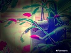 300-Many buds-Christmas-Cactus_111320_0018