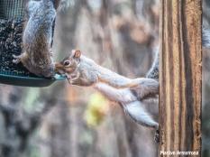 300-quite-a-pair-squirrels-111120_0062