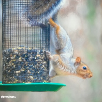 300-red-squirrel-turning-white-111120_0050