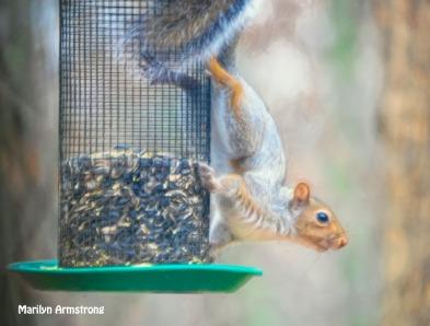 300-red-squirrel-turning-white-111120_0050