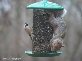300-red-squirrell-andtitmouse_112220_0158