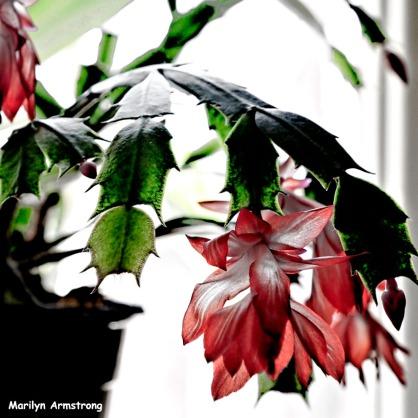 300-square-cactus-blooming-11202020_-0027