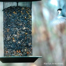 300-square-chickadee-in-air_112220_0143