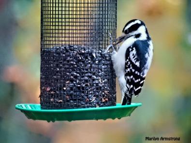300b-hairy-woodpecker_102820_154
