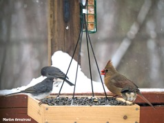 300-2-juncos-orange-cardinal-snow-flat-feeder_121720_0065