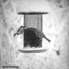 Two Titmice and a Goldfinch in flight