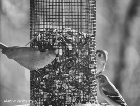Two Tufted Titmice and a Goldfinch on a feeder