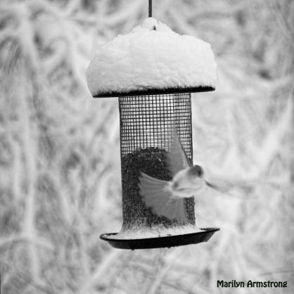 300-bw-square-flyer-birds-in-snow_103020_0121