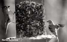 Titmice and Goldfinch get along well and often share space on the feeders