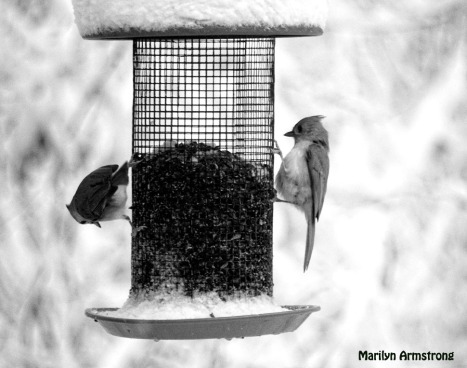A pair of Tufted Titmice