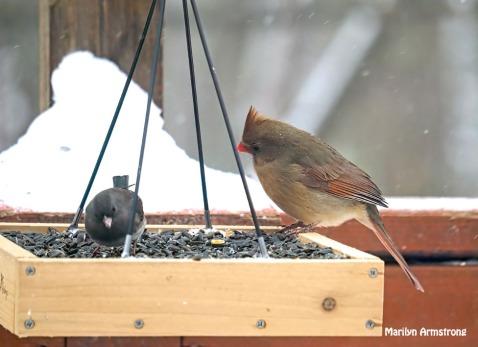 300-junco-cardinal-snow-flat-feeder_121720_0057