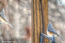 300-new-pair-of-tufted-titmice_120920_0063