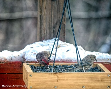 300-new-red-house-finches_120920_0026