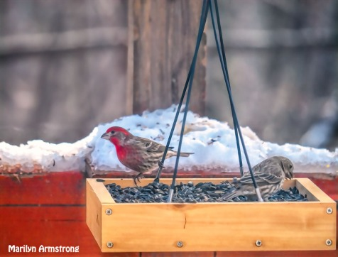 300-red-house-finches_120920_0025