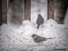 300-snow-2-juncos_121720_0016
