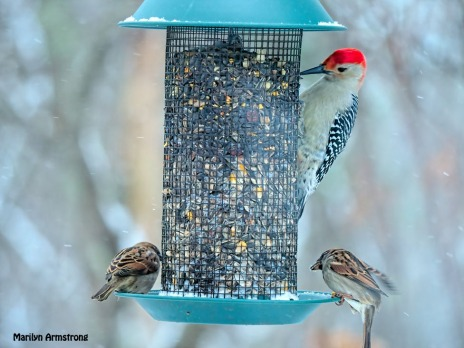 300-snow-2-sparrows-red-belly-woodpecker_121720_0115