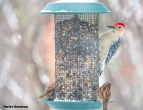 Red-Bellied Woodpecker and sparrows