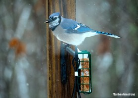 300-snow-blue-jay_121720_0145