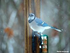 300-snow-blue-jay_121720_0146