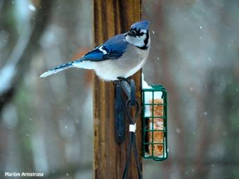 300-snow-blue-jay_121720_0152