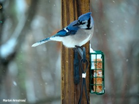 00-snow-blue-jay_121720_0153