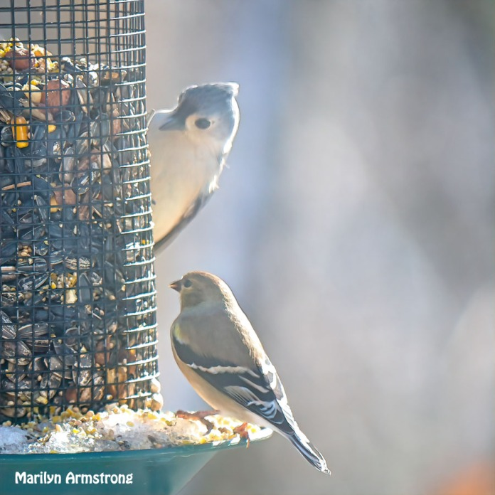300-snow-goldfinch-are-back_120620_0057