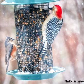 Red-Bellied Woodpecker and a Rose-breasted Tufted Titmouse