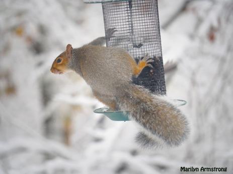 300-snowy-fat-squirrel_103020_0009